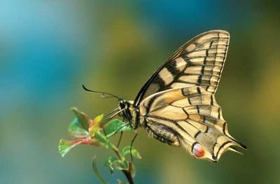 swallowtailbutterfly1.jpg