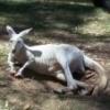 whitekangaroo
